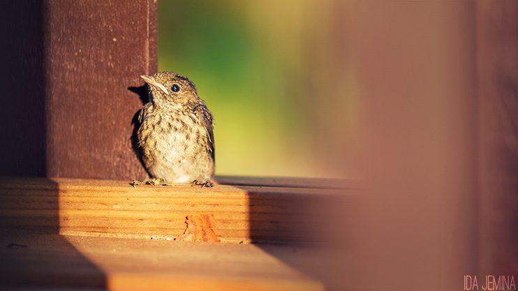linnunpoikanen