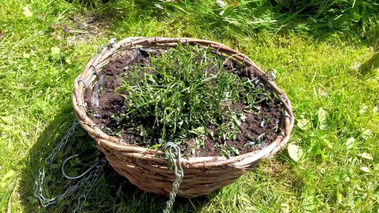 Tässä oli sininen aivan ihana kukka. Kaatosade runteli sen heti kahden päivän hankkimisen jälkeen, nyyh! Leikkasin sen ja odottelen, josko se virkoaisi...