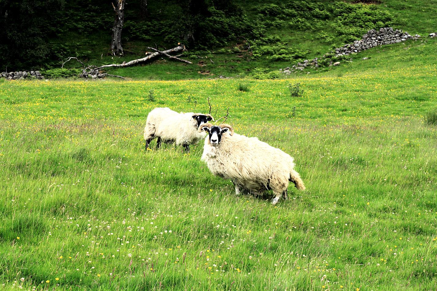 Samoilla apajilla lampaiden kanssa.