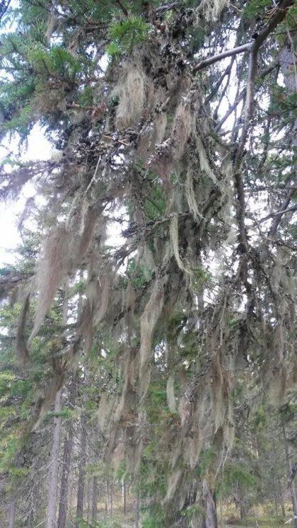 Tällainen upea naavapuu tuli metsässä vastaan.