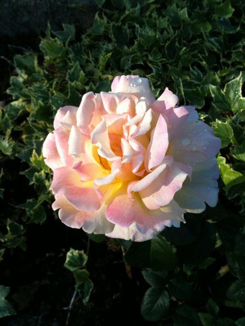 Tämä on Peace -ruusu ja tässä siksi että rauha!