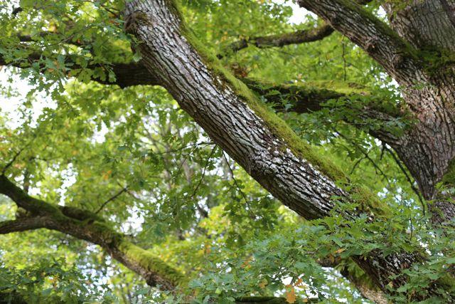 Rakastan Träskendan tammien sammaleen peittämiä oksia.