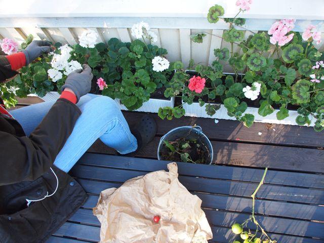 Pelargonia on maailman helpoin ja kiitollisin kasvi. Se kukkii vaikka mikä olisi! Rakastan näitä!