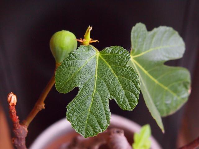 Viikuna - ihana sisäkasvi