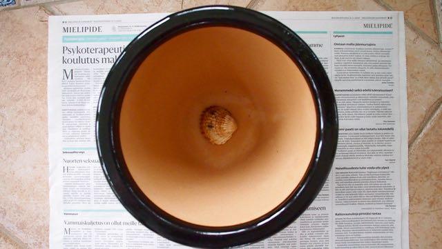 Seuraavaksi ruukkuun multaa ja sitten kasvi multapaakkuineen.