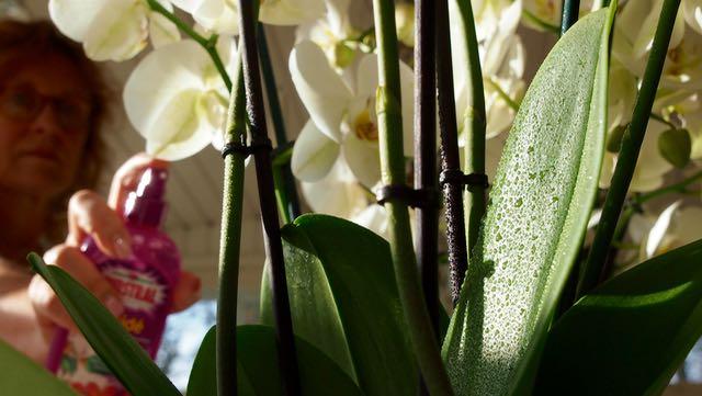 kosteutta lehdille - orkidea tarvitsee sitä varsinkin lämmityskaudella.
