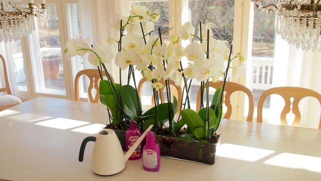 on valkoinen orkidea kyllä huikean ihana - mutta myös hankala kuvattava!