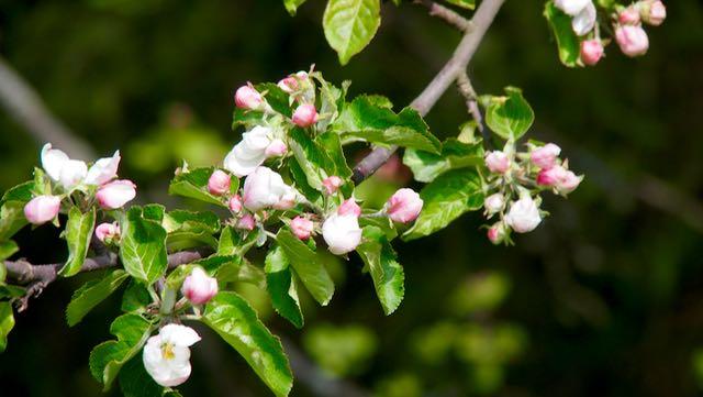 Tien vierssä kasvoi omenapuita, jotka ovat juri nyt niin ihanasti kukassa