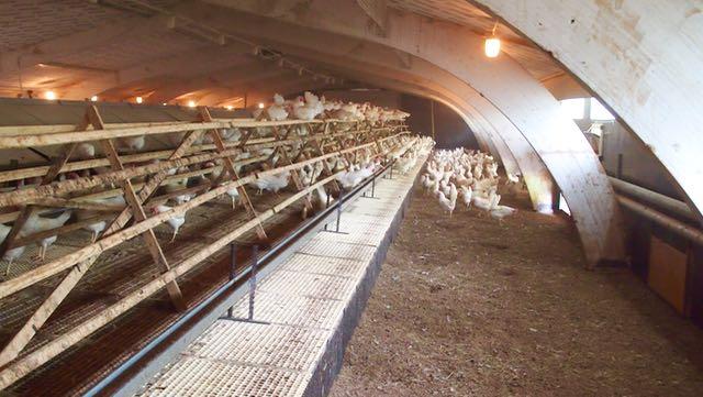 Kun tulin sisään kanat pakenivat kanalan perälle