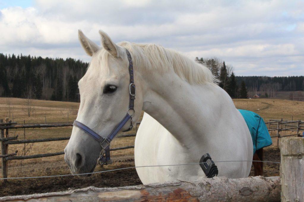 Hevoskauppa - kuin ostaisi hometalon