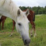 Hevoseni onkin lähiömutsi