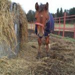 Pieni hevosenpoikanen kasvaa