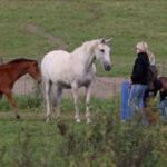 Ottaisinko hevoset kotitalliin?