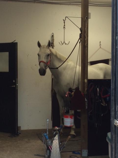 Villhevosia ei kengitetä. Miksi olen täällä, kytkettynä?
