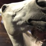 Hevosen kuvaaminen kamerantapaisella