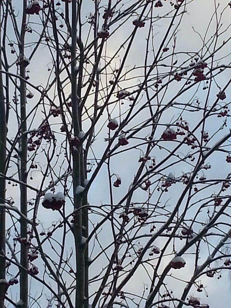 talvipuu