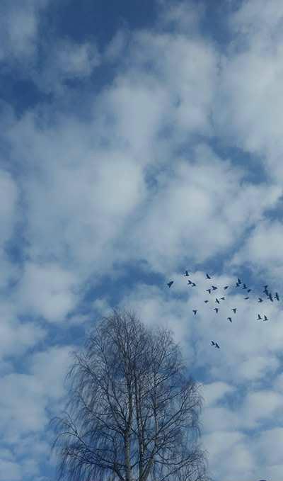 taivas puu linnut 1