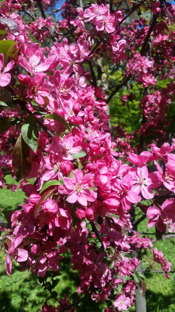 Vaaleanpunaisia kukkia