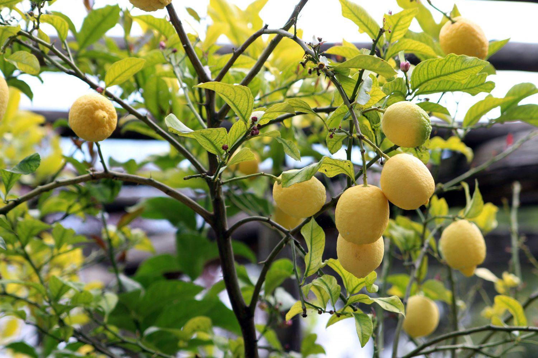 Sitruunaviljelmillä pääsimme myös maistelemaan tilan antimia.