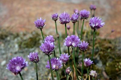 Juhannus_kukkia