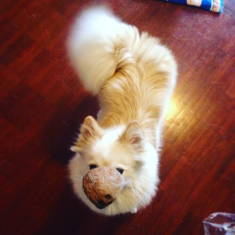 koira-kookospahkina