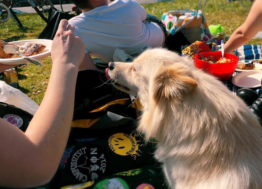 koira-piknik