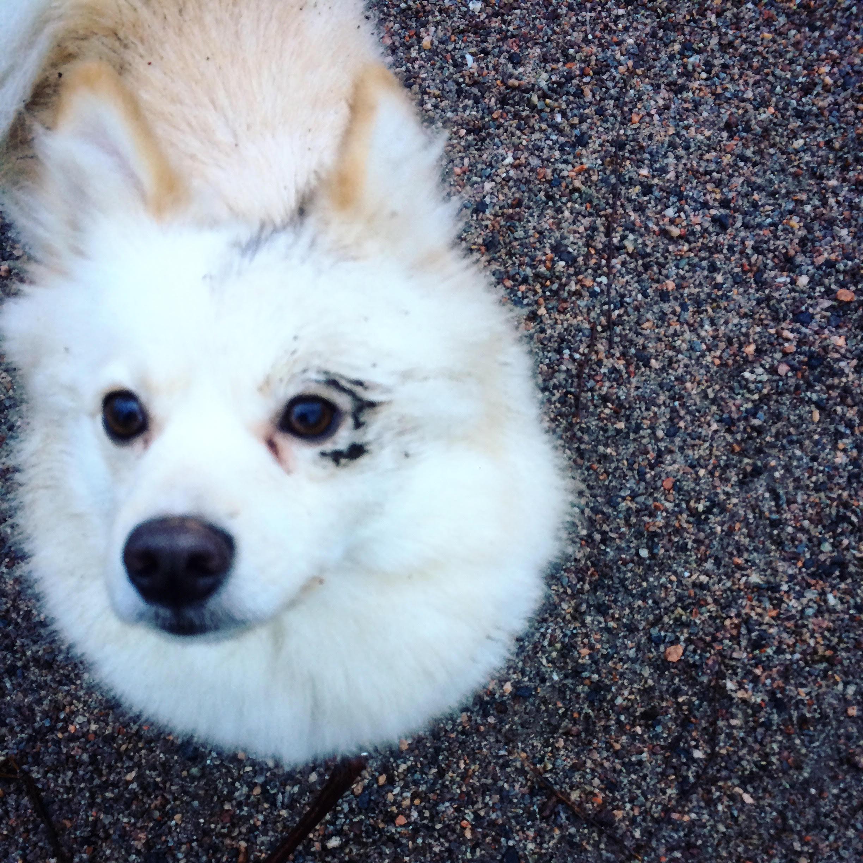 kurainen-koira