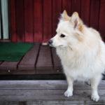 Koiran käytösongelmat saavat alkunsa aikaisin