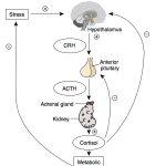 Mitä kehossa tapahtuu stressireaktion aikana?